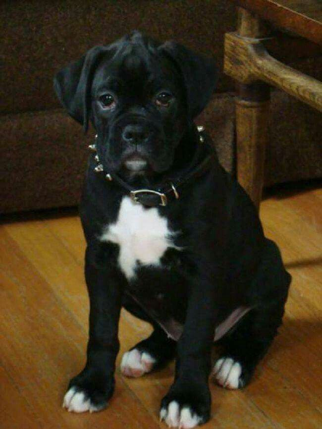 I Want Boxer Dogs Boxer Puppy