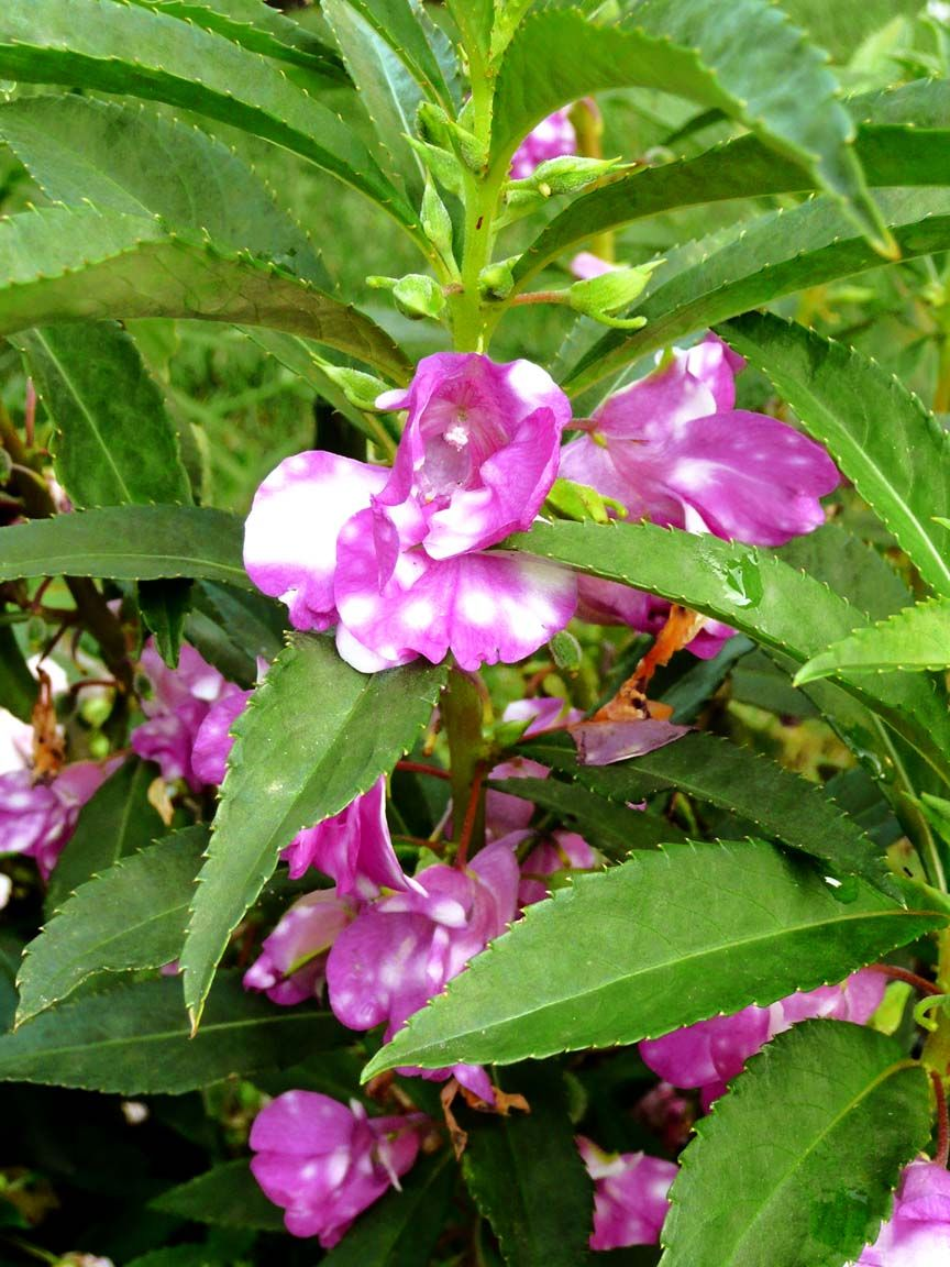 "Impatiens Balsamina ""Raspberry Swirl"" Impatiens plant"