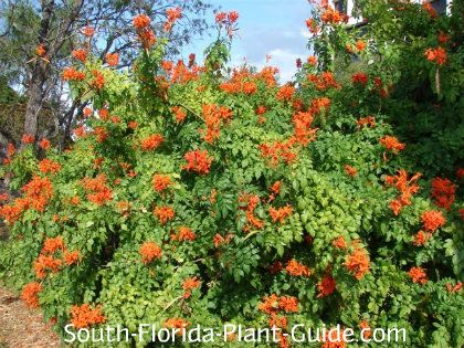 Orange Honeyle Bush This Viney Wide Spreading Shrub Blooms On And Off All