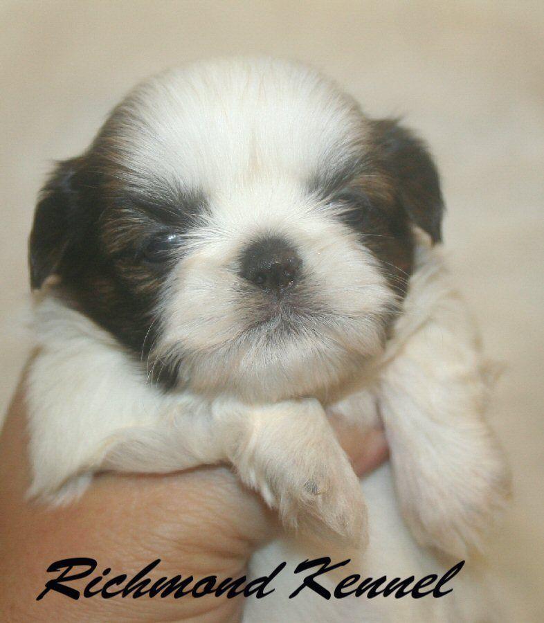 Ohio Richmondshihtzuforsale 740 852 2793 Or 740 837 6550 Cute Animals Puppies Shih Tzu Puppy