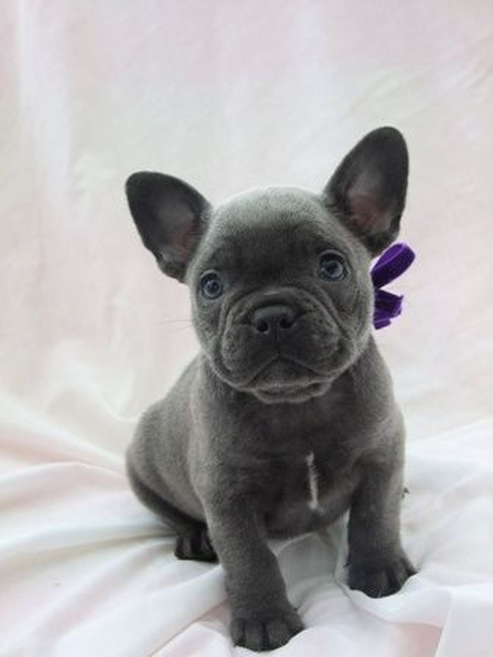 Pin On Cute Bulldog Puppies For Sale
