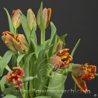 Tulip Parrot Orange