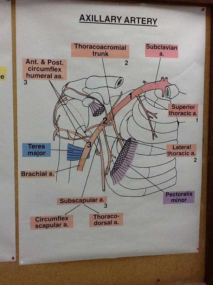 Axillary Artery dissection (Dr. Jackson) | Anato axila | Pinterest ...