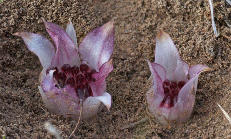 As orquídeas saprófitas, muito raras, são desprovidas de clorofila e nutrem-se de restos vegetais ou animais em decomposição.