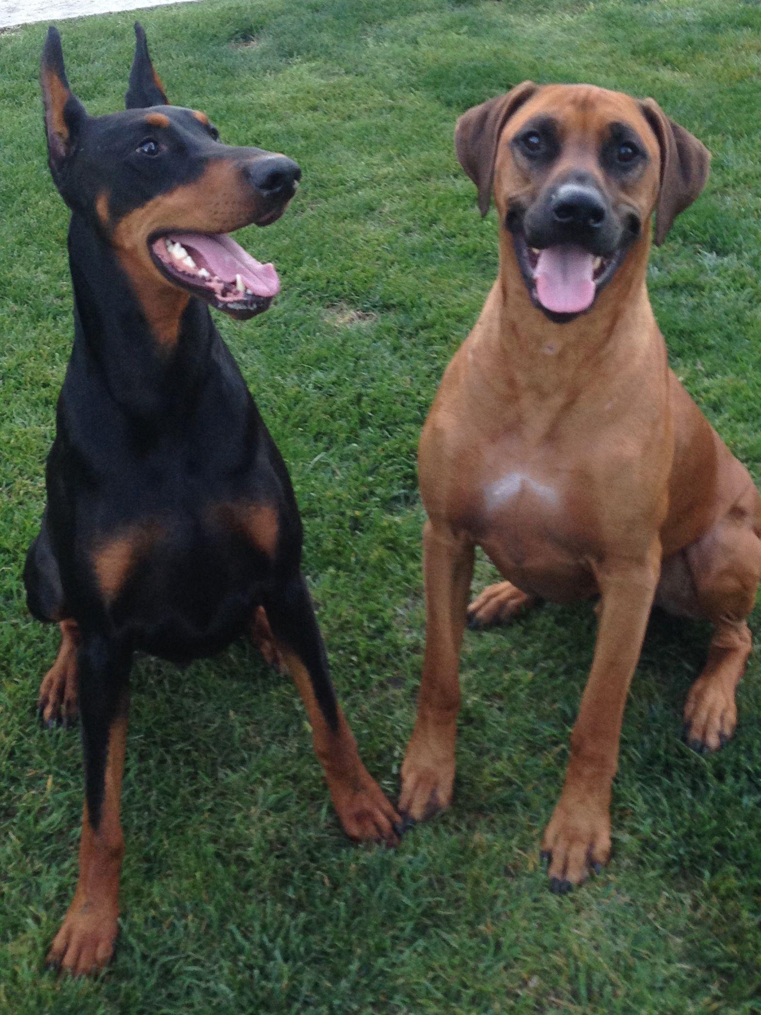 Doberman Pinscher Loyal And Fearless Doberman Pinscher Doberman Beautiful Dogs