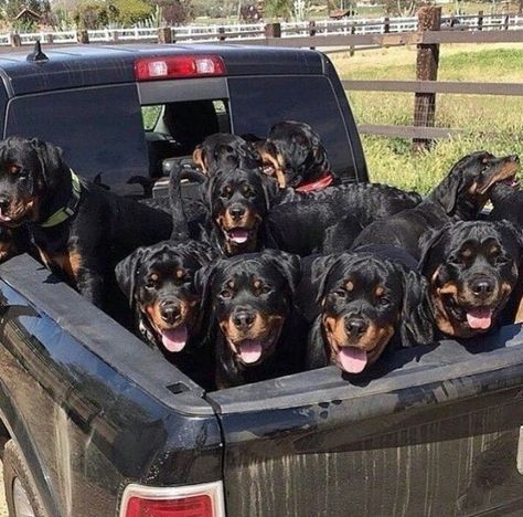 You can never have too many rotties! Rottweiler hund