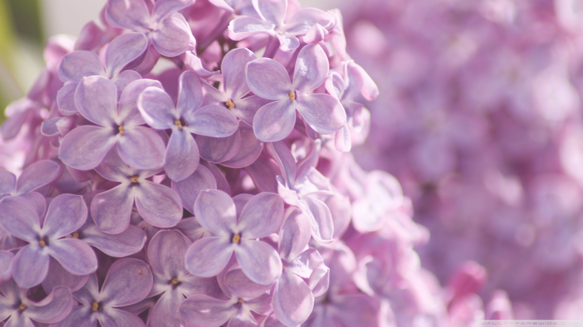 Lilac flower wallpaper pink lilac flowers wallpaper 1920x1080px lilac flower wallpaper pink lilac flowers wallpaper 1920x1080px dhlflorist Choice Image