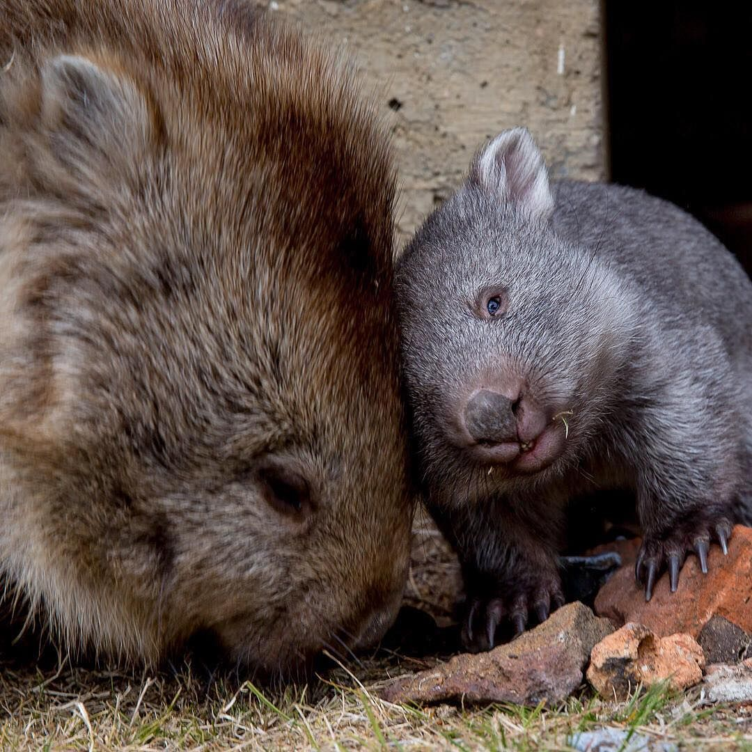 C Mon Mama Lift Your Selfie Game Please Clearly This Baby Wombat On Tasmania S Maria Island Is No Stranger To The Camera Located Just Six Kilometres