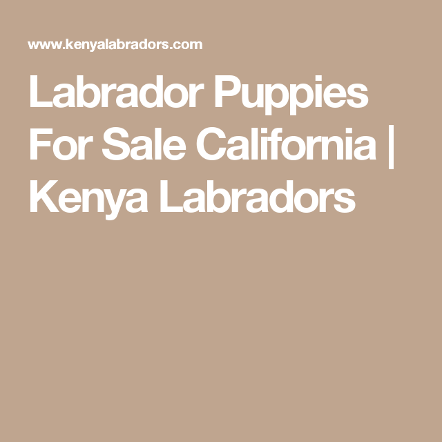 Labrador Puppies For Sale California Kenya Labradors Labrador Puppies For Sale Puppies For Sale Labrador