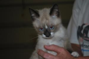 Snow is an adoptable Snowshoe Cat in Conover, NC. Snow - he is a purr box. When they get out for some exercise - they run round and round like they are running the Indy 500. Snow is the one that the p...