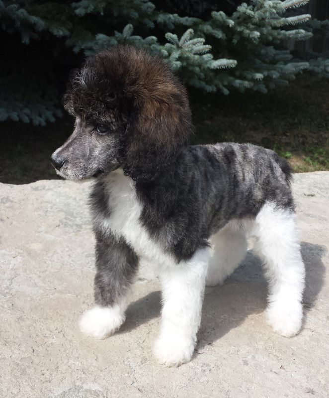 Puppy Gallery Annabelle Standard Poodles Babies Mini Poodles