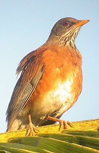 Andean Birding - Gallery page 2---Roufous backed Robin.