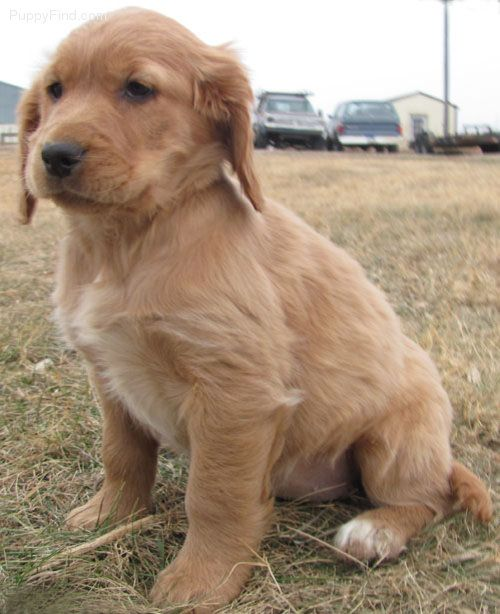 golden cocker retriever...this might have to be our next ...