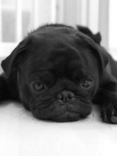 I Love Puggs 3 Cute Animals Pug Puppies Pugs
