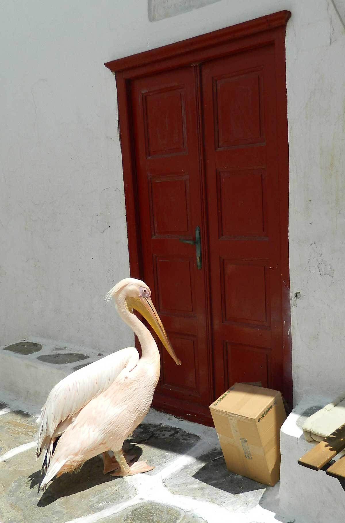 Fotos de viagem à Grécia: o pelicano Petros é uma das atrações inusitadas da ilha de Mykonos. Ele anda livremente pelas ruazinhas e, quando aparece, chama a atenção de todas as câmeras fotográficas do pedaço.