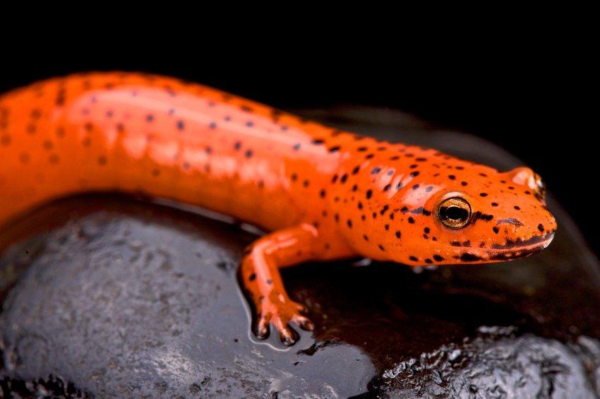 Der Rotsalamander Lebt In Den Sudostlichen Usa Gegen Seine Fressfeinde Hat Er Ein Hautgift Entwickelt Vor Dem Auch Amphibien Reptilien Und Amphibien Reptilien