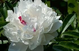 peony flower - Google Search