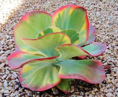 Seen in a garden in Texas. Can't find anything like it when I search online.  Hi Arlene, this is Kalanchoe thyrsiflora 'Tricolor' which can also go by