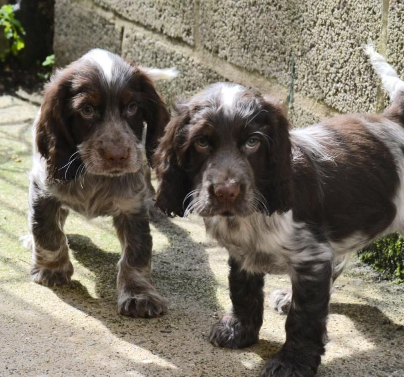 Energetic Chocolate Roan Cocker Spaniel Pups Pedigree Puppies For Sale Cocker Spaniel Puppies Puppies Cocker Spaniel