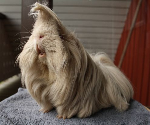 Peruvian Guinea Pig - The Complete Guide for Owner | Types ...