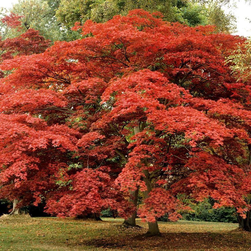 Variétés à Feuillage Rouge Acer Japonicum 'Shaina