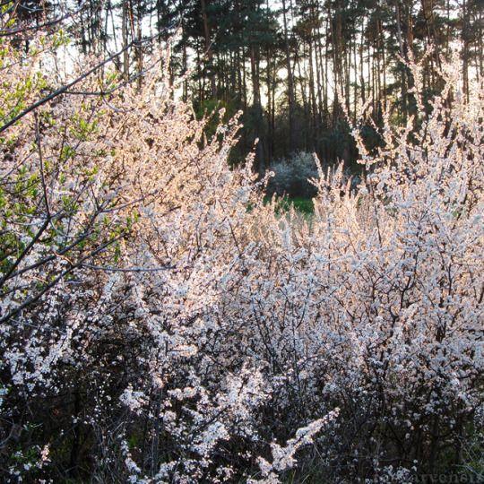 White bush II by rosaarvensis