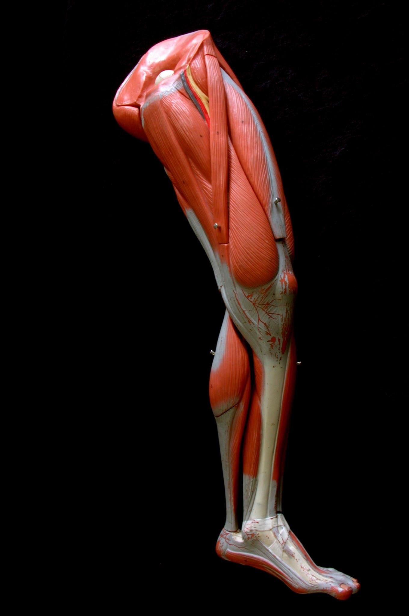Único Hojas De Trabajo Del Músculo Para La Anatomía Cresta ...