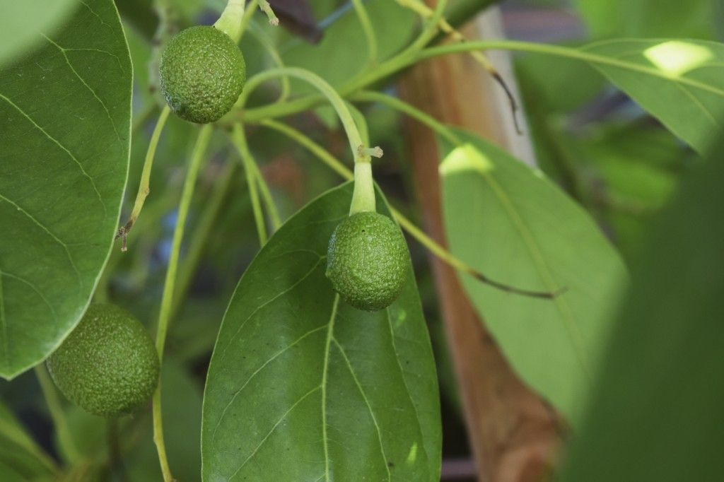 Fertilizer For Avocado Trees Learn When And How To Fertilize