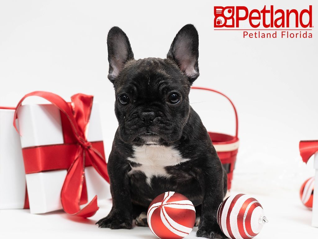 Petland Florida Has Frenchie Puppies For Sale Check Out All Our