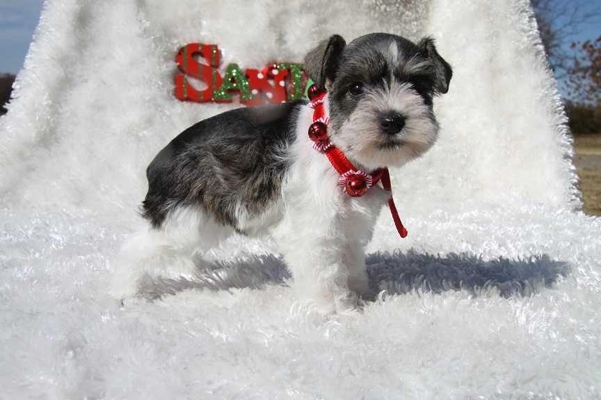Schnauzer Miniature Schnauzer Puppies Schnauzer Puppy Hypoallergenic Dog Breed