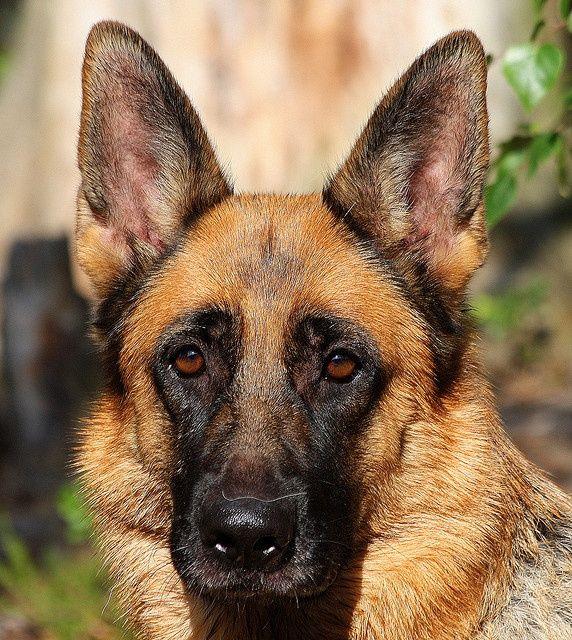 German shepherd dogs, Shepherd dog