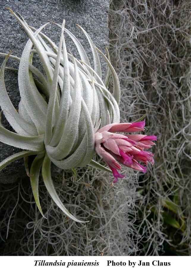 Tillandsia Piauiensis Airplant With