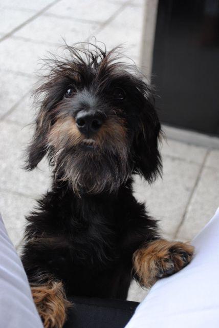 Doxie Toos Wire Haired Dachshund Dachshund Puppies Weenie Dogs