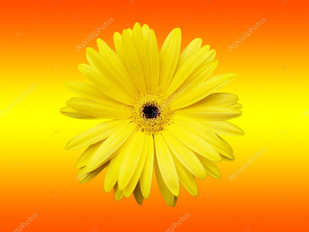 Yellow Flower Isolated Gradient Red Yellow Background - Stock Photo , #Ad, #Isolated, #Gradient, #Yellow, #Flower #AD