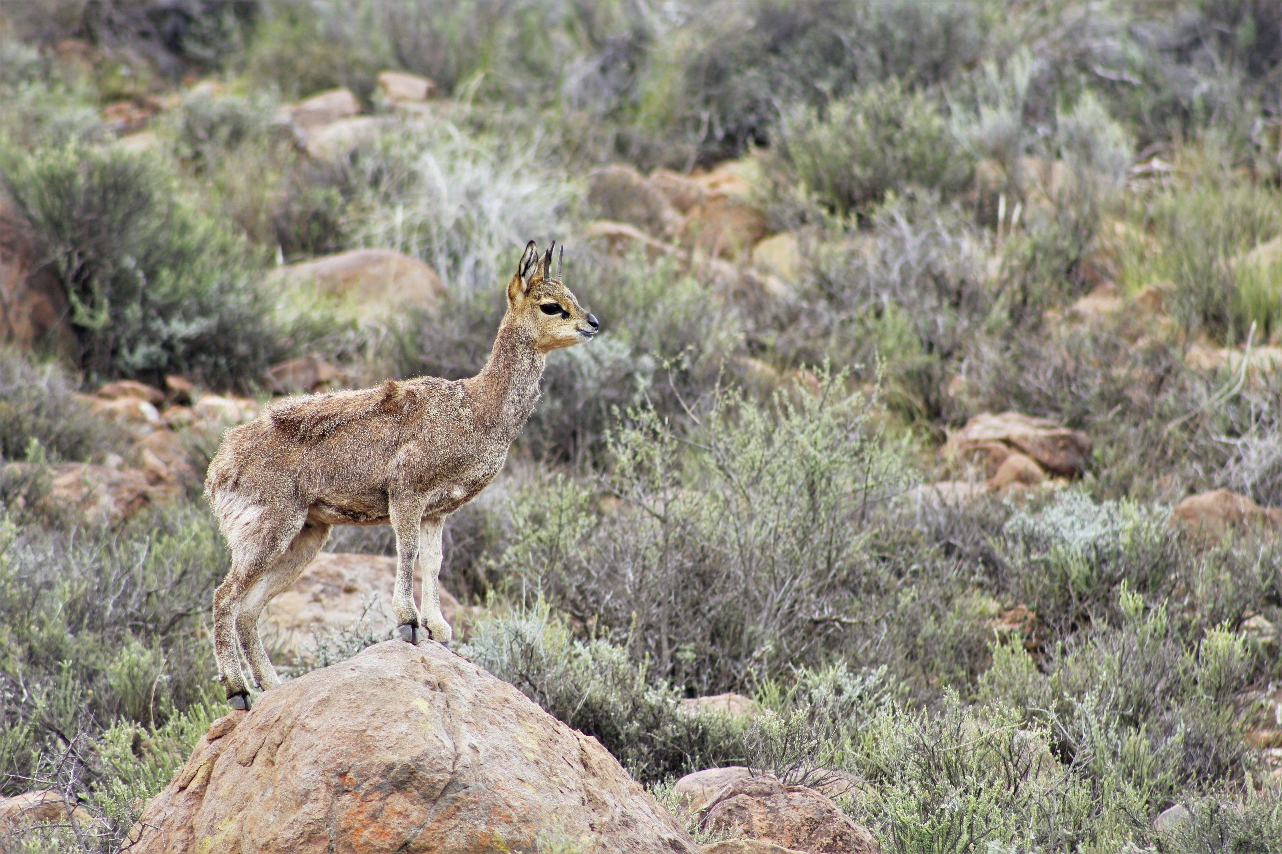 Cute little klipspringer standing proudly atop the rock.   #antelope #rockjumper #karoo #nationalpark #semidesert #beaufortwest #wildlife #nature #southafrica
