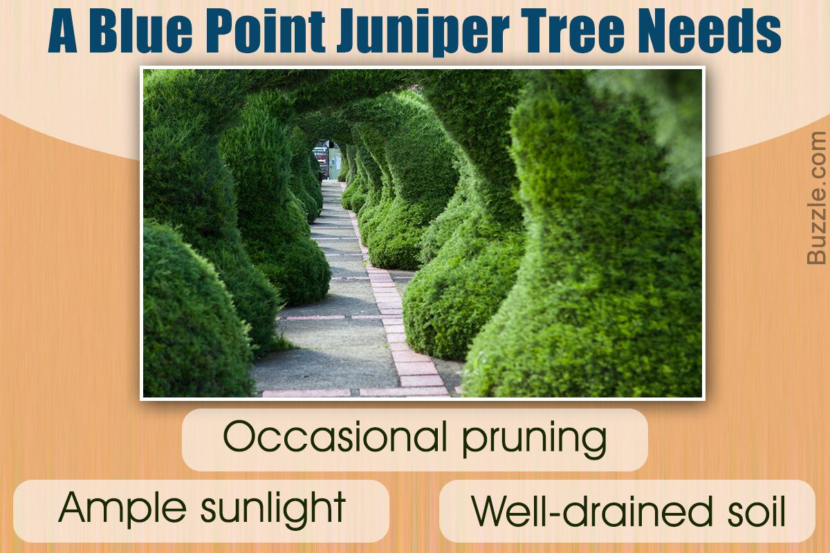 The Blue Point juniper tree is one of the more popular