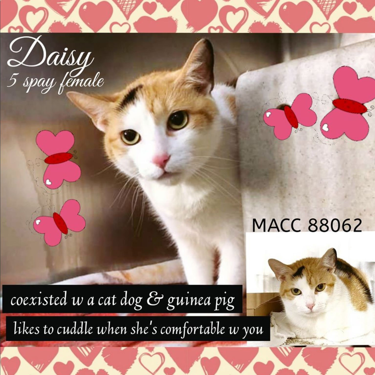 Daisy To Die 02 22 2020 In 2020 Cats Foster Cat Paws Rescue