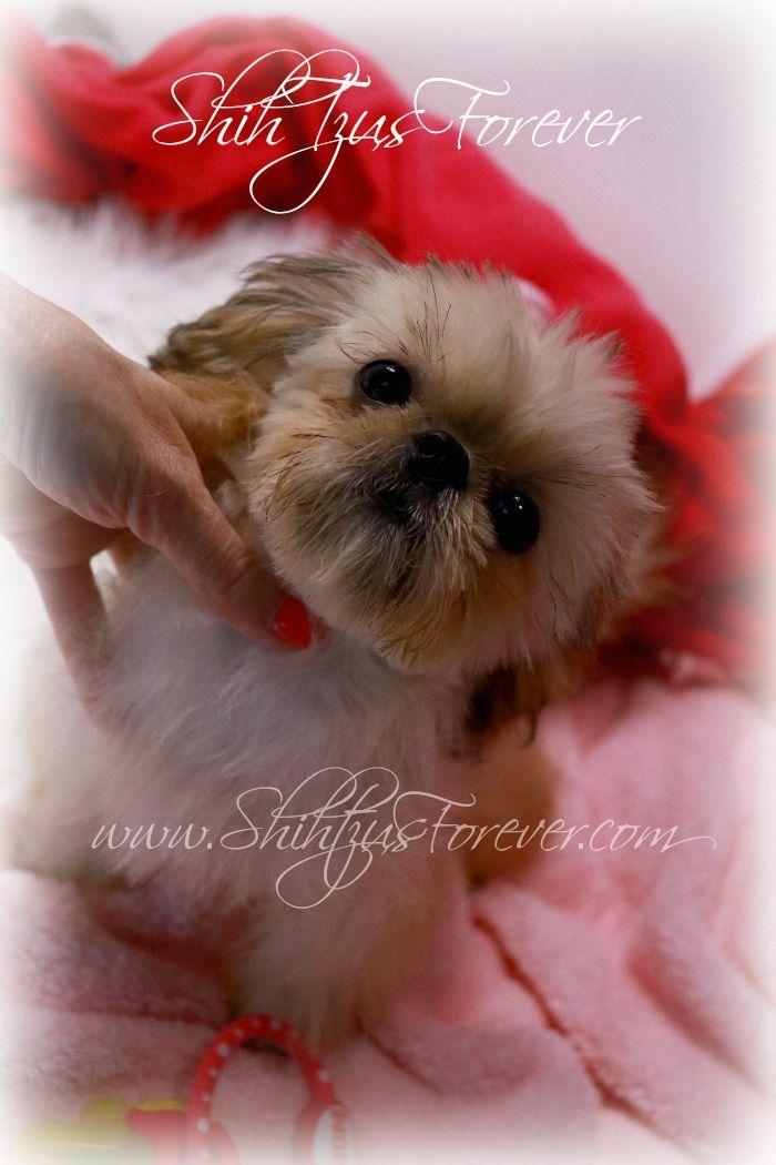Imperial Shih Tzu Puppies Alabama Shih Tzu Puppy Imperial Shih