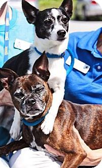 York Pa Pug Chihuahua Mix Meet Lucky Pugs Pets Chihuahua