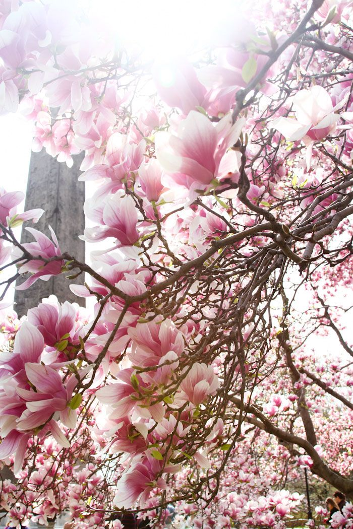 Cherry Blossoms In Central Park Spring Blossom Beautiful Flowers Japanese Magnolia Tree