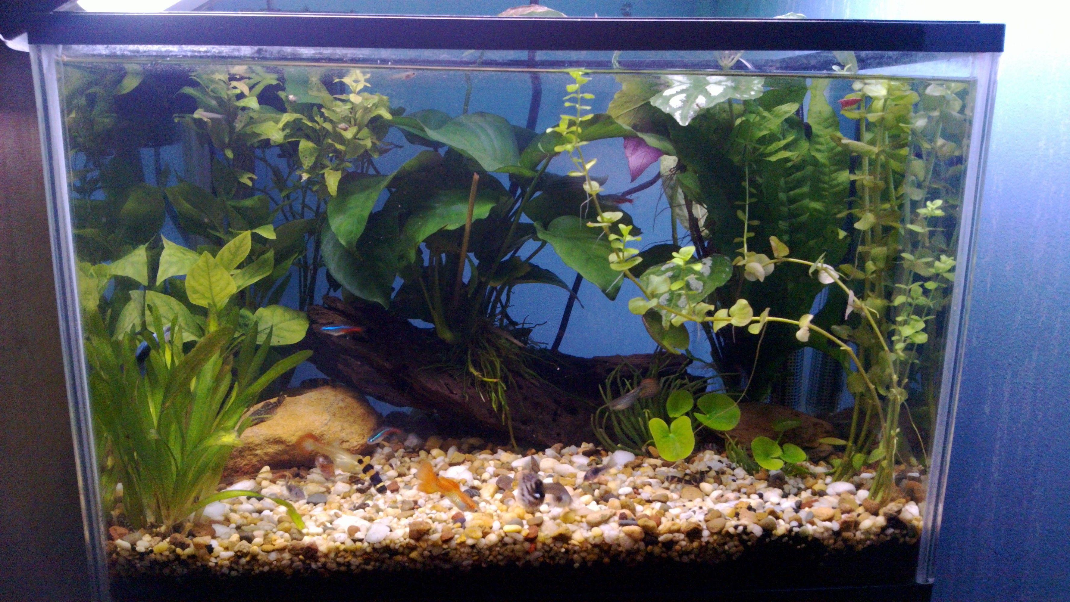 My Nano Planted Tank Guppies Neon Tetras Aquascape Fresh Water Aquarium