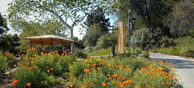 California Poppies. Rancho Santa Ana Botanic Gardens In Claremont.