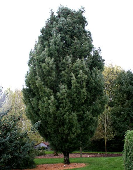 Columnar White Pine Tree. Garden LandscapingLandscaping ...