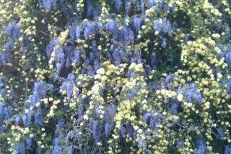 Lady Banks Rose and Wisteria working together...