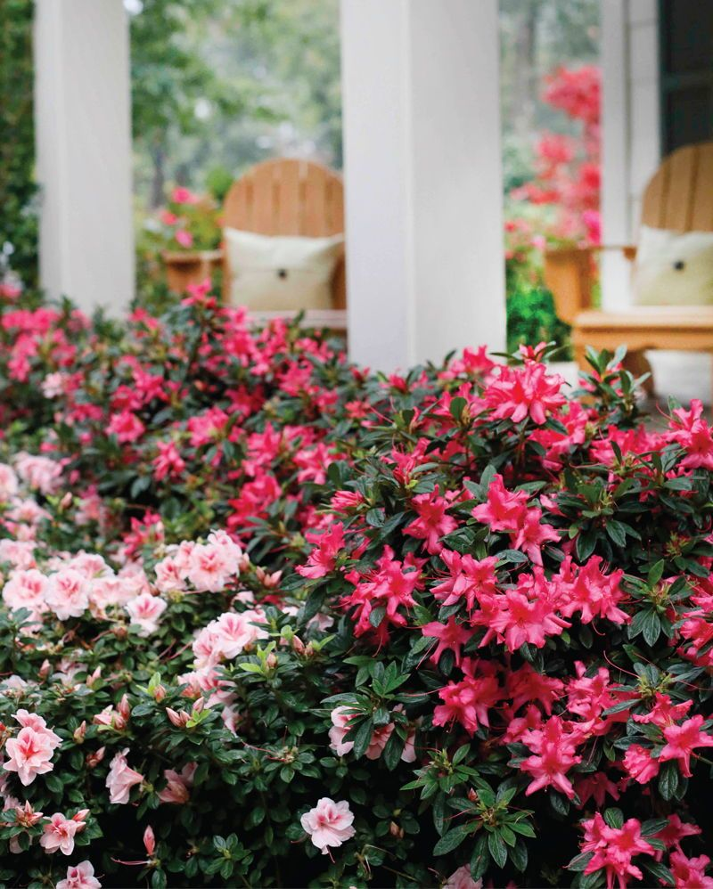 Decipher Proper Exposure For Your Encore Azaleas With The Help Of The Garden Guy Norman Winter Azalea Flower Azaleas Care Azaleas