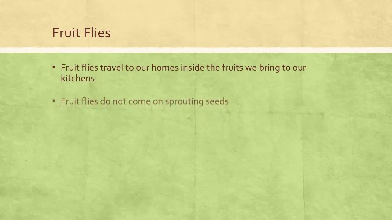 how to get rid of fruit flies on your sprouts and wheat grass