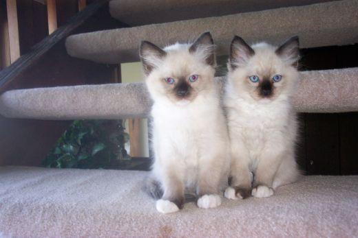 Couple Of Siamese Cuties Siamese Cats Angora Cats Siamese