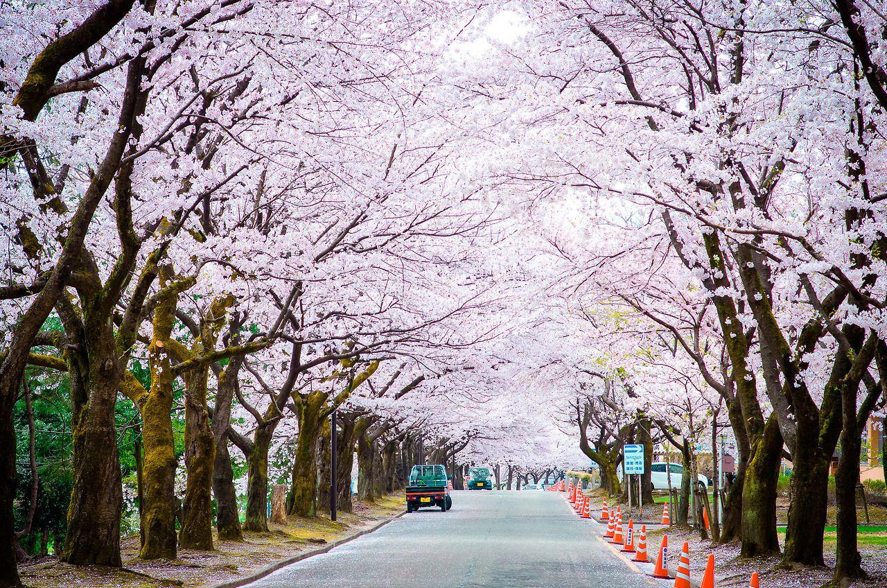 Minuga Hana Sakura By Hoang Hải Book Photography Japan Country Roads