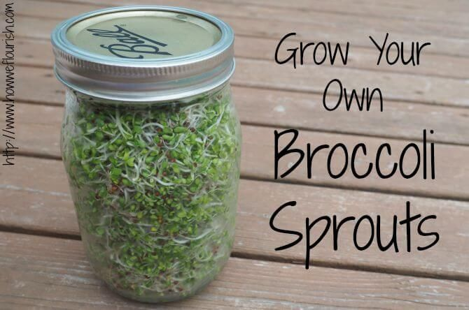 Growing Broccoli Sprouts At Home Recipe Broccoli Sprouts
