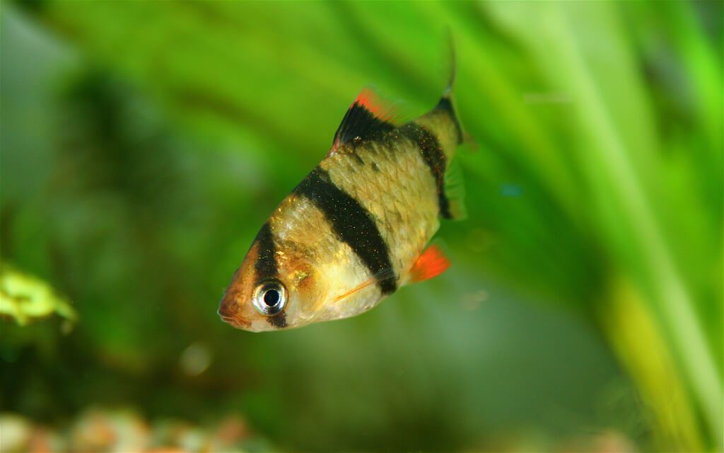 Ultimate Guide To Tiger Barb Fish Care Feeding Breeding Tankmates Tropical Freshwater Fish Tropical Fish Fish